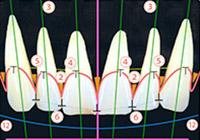 歯の配列・位置イメージ